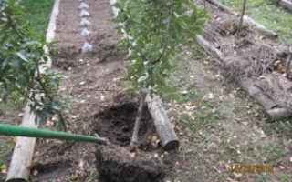 Как пересадить взрослую яблоню на другое место: когда лучше весной или осенью