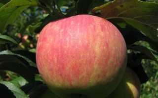 Яблоня Услада: описание и характеристики сорта, подвиды и выращивание