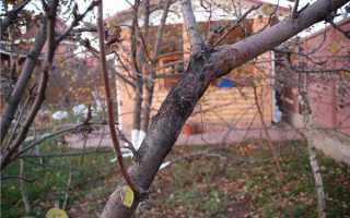 Рак яблони: что делать для лечения, меры борьбы и устойчивые сорта