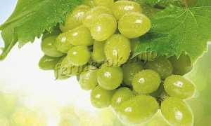 Виноград Тимур: описание и характеристики сорта, история селекции и урожайности