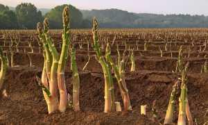 Как растет спаржа: выращивание и уход в открытом грунте на огороде с фото и видео