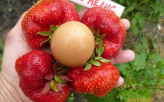 Клубника Кисс Неллис: описание и характеристики сорта, выращивание и размножение