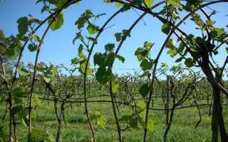 Выращивание винограда в средней полосе для начинающих в открытом грунте: посадка и уход
