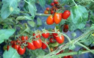 Альтернариоз томатов: причины возникновения и лечение