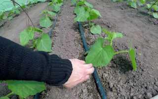 Как посадить переросшую рассаду огурцов в открытый грунт или теплицу с видео