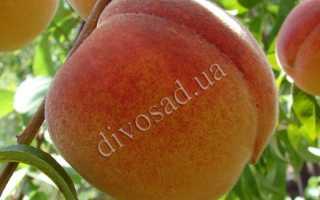 Персик Посол мира: описание и характеристики сорта, посадка и уход, сбор урожая