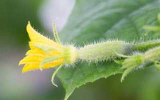Огурец Вятский: описание и характеристика сорта, выращивание и уход с фото