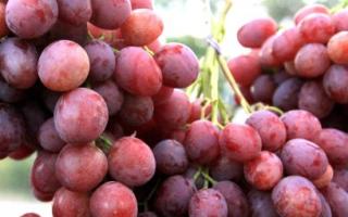 Виноград Анюта: описание и характеристики сорта, посадка и уход с фото