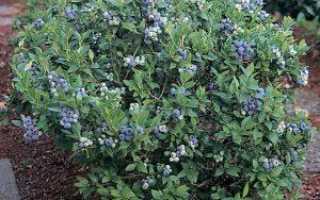 Удобрение для голубики: лучшие минеральные и органические подкормки