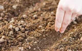 Посев петрушки под зиму: когда сажать и можно ли, сроки