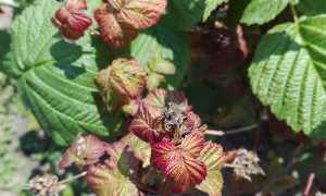 Почему у малины краснеют листья в июне: причины и что делать