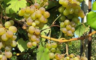 Виноград Галбена Ноу: описание и характеристики сорта, преимущества и недостатки, правила выращивания