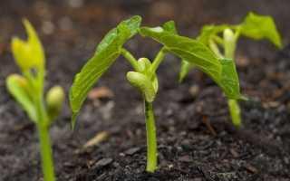 Как вырастить фасоль в домашних условиях поэтапно с фото
