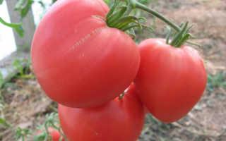 Томат Бычье Сердце: характеристика и описание сорта, урожайность с фото