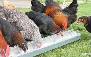 Ракушка для кур: чем опасен недостаток, состав, как правильно давать