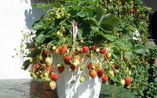 Клубника Гирлянда: описание и характеристика сорта, как правильно посадить, уход