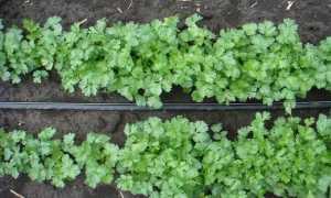 Кориандр Карибе: описание сорта, выращивание и урожайность с фото