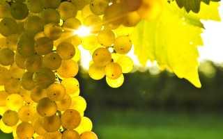 Морозостойкие сорта винограда: описание лучших и крупных, выращивание с видео
