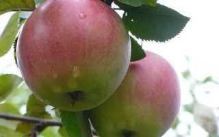 Яблоня Орловское полесье: описание и характеристики, плюсы и минусы сорта с фото