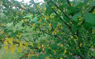 Болезни абрикосовых деревьев и способы их лечения