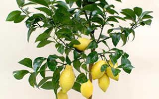 Как вырастить из косточки лимон в домашних условиях: посадка и уход с видео