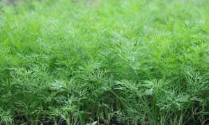 Укроп Салют: описание сорта, выращивание и уход с фото