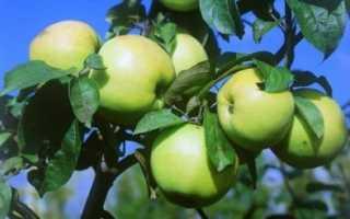 Яблоня Любава: описание, особенности и плодоношение сорта с фото