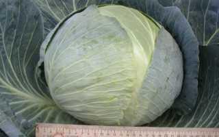 Капуста Центурион f1: описание сорта, выращивание и уход с фото