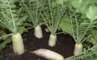 Дайкон Миноваси: описание сорта, выращивание и урожайность с фото