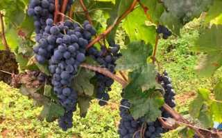 Виноград Мерло: описание и характеристика сорта, достоинства и недостатки с фото