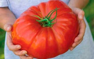 Сладкие крупноплодные помидоры: лучшие сорта