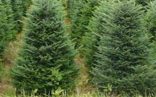 Как вырастить рождественскую елку и когда вы сажаете его в открытой зоне: весна или осень, на каком расстоянии от себя посадив деревья, как правильно заботиться
