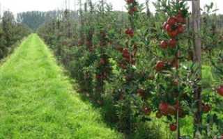 Не плодоносит колоновидная яблоня: что делать, причины отсутствия урожая