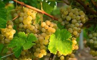 Виноград Алиготе: описание и характеристики сорта, плюсы и минусы, выращивание