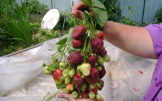 Клубника Фейерверк: описание сорта и характеристики, выращивание и уход с фото