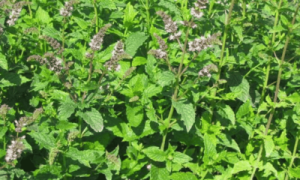 Мята колосистая (садовая): описание сорта, выращивание и уход с фото