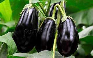 Баклажан Клоринда: описание и характеристика сорта, урожайность с фото