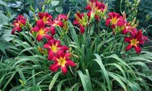 Лилейники цветущие все лето: сорта и виды с описанием и характеристиками + фото