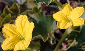 Почему не завязываются дыни, на них пустоцветы: что делать