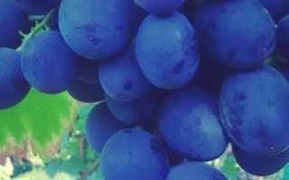 Виноград Руслан: описание сорта и характеристики, достоинства и недостатки с фото