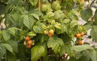 Желтая малина: выращивание и уход, описание сортов и способы размножения