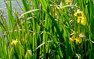Ирис болотный: описание, посадка, выращивание и уход в открытом грунте с фото