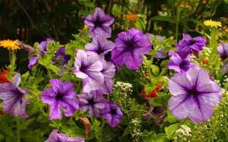 Петуния Изи Вейв: описанием видов, посадка, выращивание и уход с фото