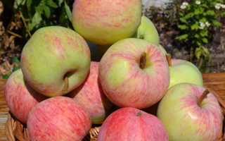 Яблоня Яблочный спас: описание и характеристики, история сорта и выращивание