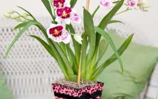 Miltonia (45 фотографий): советы по уходу за орхидеей дома, трансплантация цветов, вида и их имена