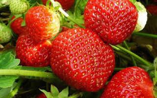 Клубника Витязь: описание и характеристики сорта, выращивание, методы размножения