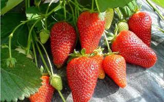 Клубника Роксана: описание сорта и характеристики, посадка, выращивание и уход