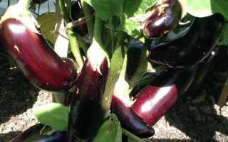 Баклажан Японский карлик: описание и характеристика сорта, урожайность с фото