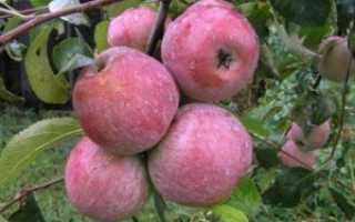 Яблоня Уэлси: описание сорта и урожайность, особенности выращивания и уход