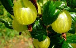 Как вырастить крыжовник из семян: посадка и уход в домашних условиях